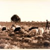 Request for Sheepherders and Human Rights Observers-July 2014