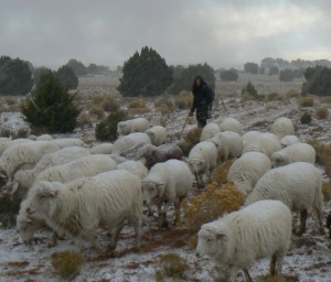 Sheepherding in the Snow, Fall 2010