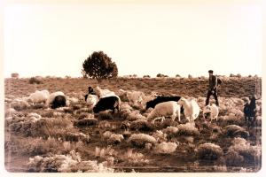 sheepherderbw